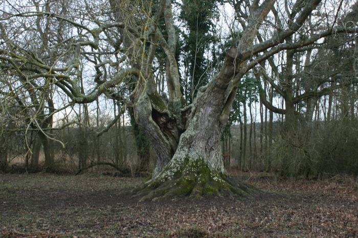 Ash tree in Fineshade Woods