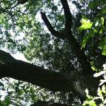 oak tree in Sherwood Forest were the sensors were set up