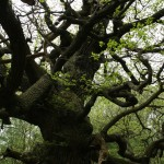 An ancient oak tree at Sherwood Forest