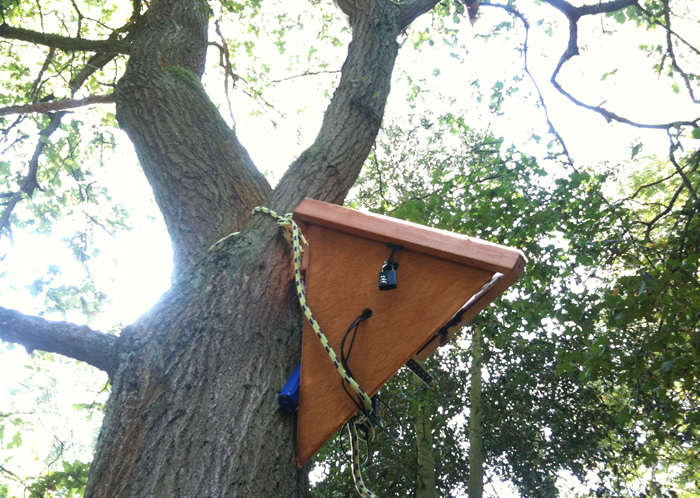 New \sensor box in an Oak Tree in Rufford Country Park, Sherwood Forest