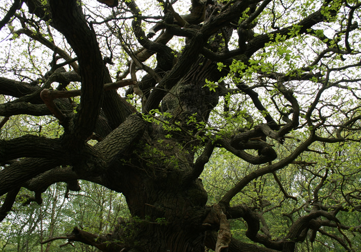 800 year old  oak tree deep in Sherwood Forest